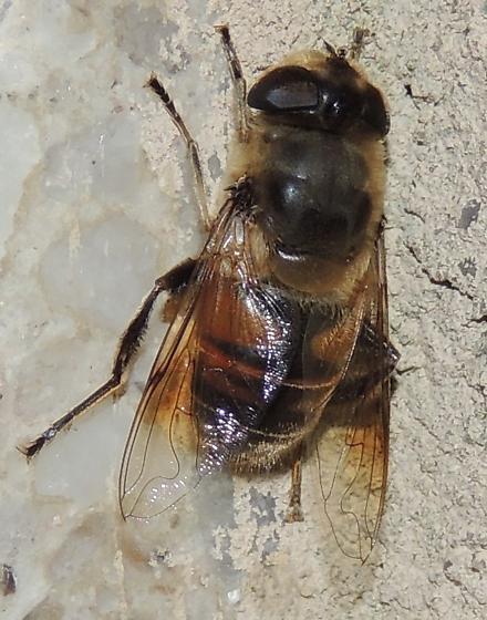 Fly or Bee sp? - Eristalis tenax
