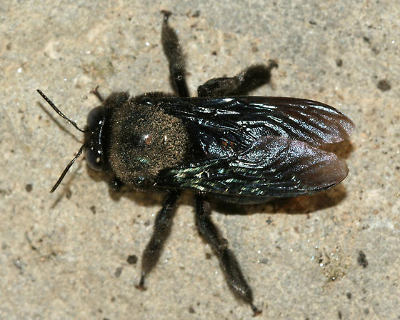 Large Black Bee ? - Xylocopa californica - male