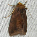 Unspotted Looper Moth - Hodges#8898 - Allagrapha aerea
