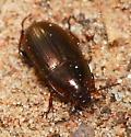 Beetle - Amara