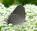 Gray Hairstreak - Strymon melinus - female
