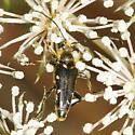 Xestoleptura species - Brachyleptura vexatrix