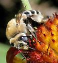 Bee - Anthophora walshii - female