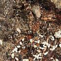 ants - Lasius alienus