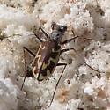 E. s. sperata - Ellipsoptera sperata