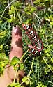 Spurge Hawk Moth Larva  - Hyles euphorbiae