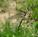 Antlion species - Brachynemurus abdominalis