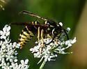 Hornet - Vespula vidua