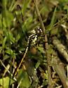 Juvenile Female Slaty Skimmer - Nope, Bar-winged - Libellula axilena - female
