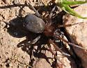What species is this spider? - Metaltella simoni
