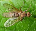 Diptera. Scatophagidae. Scatophaga. - Scathophaga - male - female