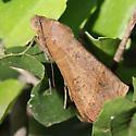 Moth - Mocis disseverans