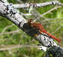 Saskatchewan WF Meadowhawk - Sympetrum obtrusum - male
