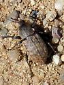 broad-nosed weevil - Barynotus obscurus