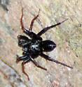 Dark Spider with Reddish Legs - Castianeira