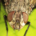 fly - Bellardia bayeri