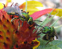 Late season bees - Augochlora pura - female