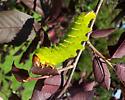 Sphinx Moth caterpillar? - Antheraea polyphemus