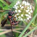 Potter and Mason Wasp - Pachodynerus erynnis