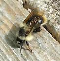 Black and Tan Bumble Bee - Bombus mixtus