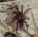 Red and Black spider? - Gnaphosa sericata