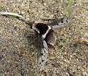 Bombylius pygmaeus - female
