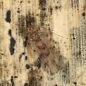Ectopsocus californicus  - Ectopsocus californicus - female