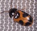 Small Orange and Black Beetle - Mycetophagus punctatus