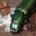 Bark-gnawing Beetle (Trogossitid) ??? - Temnoscheila virescens