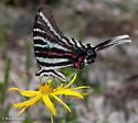 Eurytides marcellus