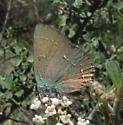 Callophrys affinis  - Callophrys affinis