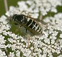 Dolichovespula adulterina arctica - Dolichovespula arctica - female
