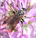 Wasp - Dielis pilipes - female