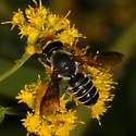 Megachilini ? - Megachile