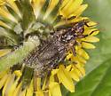 Pyrgotidae, dorsal
