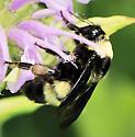Bombus  - Bombus auricomus - female