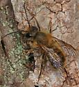 Hairy Bee - Osmia