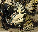 Appalachian Tiger Swallowtail - Papilio appalachiensis - male