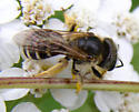 Another bee - Halictus ligatus - female