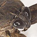Giant Water Bug - Lethocerus uhleri