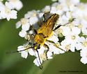 Longhorn Beetle - Lepturobosca chrysocoma