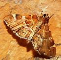 Crambidae - Hymenia perspectalis