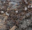 End of winter - Aphaenogaster fulva - female