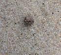 Gelastocoris oculatus - Big-Eyed Toad Bug?