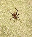 Greenhouse camel cricket - Diestrammena asynamora - Diestrammena asynamora - male