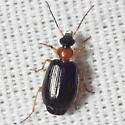 Colorful Foliage Ground Beetle - Lebia collaris