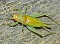 ? - Cyrtoxipha columbiana - male