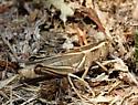 unidentified grasshopper 1 - Melanoplus bivittatus - female