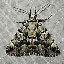 Allotria elonympha