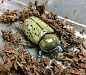 Female Eastern Hercules Beetle - Dynastes tityus - female